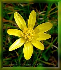 Happy week-end  with this little sun ! (Pendore) Tags: sun flower yellow jaune soleil niceshot signofspring petitefleur diamondheart platinumphoto rubyphotographer happyweekendtomyfriends bonweekendmesamis