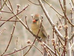 Northern Cardinal (female) (Doug's Photos at Large) Tags: female cardinal brantford