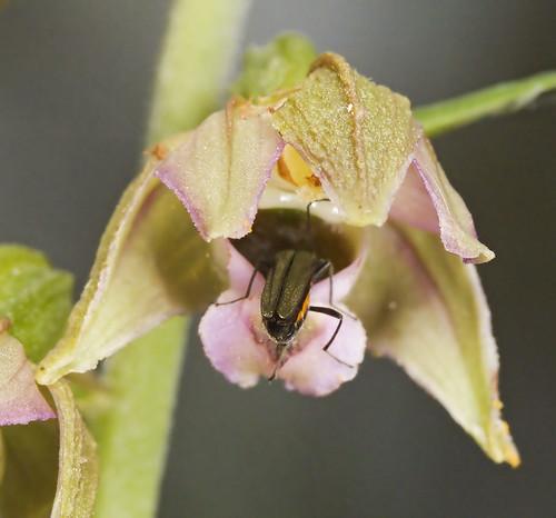 Epipactis, abreuvoirs à insectes 3737585155_22b2052ab7