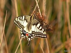 Koninginnepage - Papilio machaon - Common Swallowtail (Jeanne Kliemesch) Tags: nature butterfly nikon explore jeanne achterhoek koninginnepage eibergen commonswallowtail berkelland theunforgettablepictures tup2 nikoncoolpixp80 nikonp80 vanagram gorgeous~