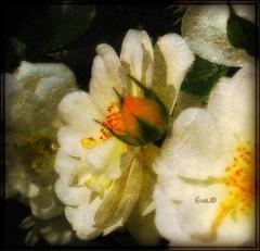 Ad meliora... (in eva vae) Tags: old light white flower macro art rose eva experiment rosa crop bud textured bocciolo blueribbonwinner vittoriana platinumphoto awesomeblossoms in