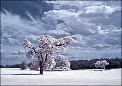 Trees and clouds (lintonolive) Tags: tree d70 nikond70 bluesky infrared whiteclouds pinktree whitefields hoyar72infraredfilter unconverted postprocessedinps 3secondsshutter