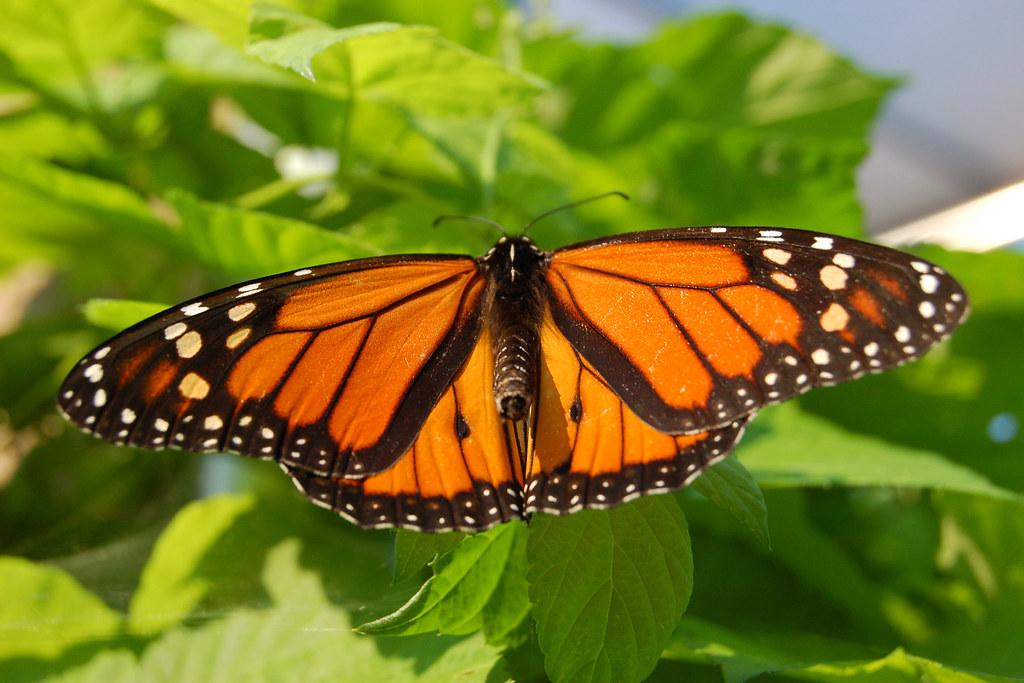 Monarch_Butterfly_Showy_Male_3000px