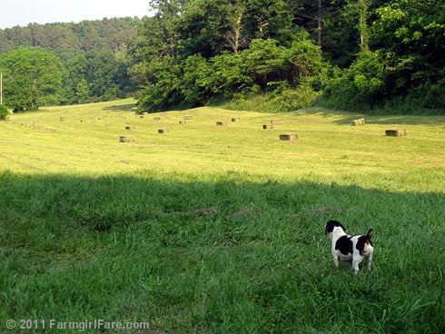 haying 1