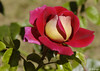 "LA ROSA N° 50.000 DEL ROSETO ""PRINCESS GRACE OF MONACO """