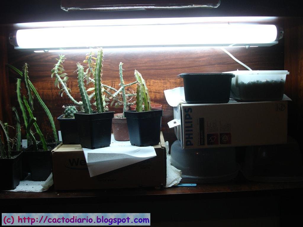 armario cactus semillero pies injerto pereskiopsis selenicereus cacti