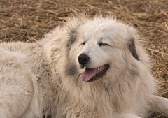 Big Hair (Flint-Hill (away)) Tags: bighair fidget greatpyrenees patou 5842 firefoxiecorrectionhshue5 poultrylgd