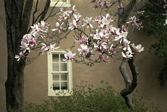 magnolias and window (moocatmoocat) Tags: flower tree philadelphia window garden moo na card magnolia 407 sh aoc