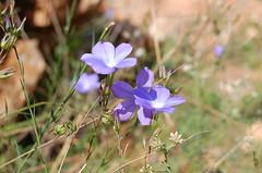 Folrs mediterrnies_1 (esalpl@) Tags: flores montaa muntanya lilas flors mediterrni