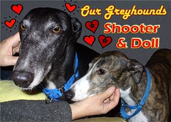 Our Greyhounds Shooter and Doll (Scandblue) Tags: friends dog pet greyhound pets dogs animal loving sweet canine hund sighthound gazehound