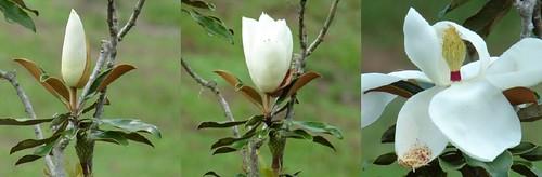 magnoliatreebloomtime