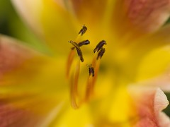 pastel-ly color! (on2wheelz) Tags: orange flower color macro yellow 50mm dof bokeh olympus stamen zuiko creamy zd flowerotica ex25 jeffav jeffav2008