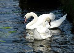 zwanen (Judy **) Tags: bird leiden swan 2008 vogel jubileum zwaan