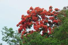 annDSC_0059 Flame of the forest (nikkor80) Tags: mayflower gulmohar dazzlingshots