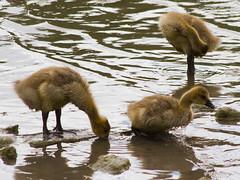 Goslings! (TomiTapio) Tags: cute birds geese helsinki fuzzy iso400 shoreline young goslings chicks trio canadagoose brantacanadensis hietaniemi kanadanhanhi canonef90300mmf4556usm