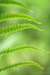 Fern Study No.9 (A Half) (_nejire_) Tags: plant fern macro green canon flora bokeh explore takeabow naturesfinest nejire brillianteyejewel atqueartificia mhashi explorebutnoscout