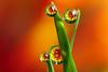 Dewdrop flower refraction #3 (Lord V) Tags: flower macro water bravo dewdrop refraction abigfave impressedbeauty ahqmacro