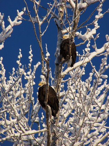 Twp Eagles in Tree.jpeg