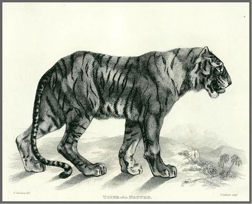 01-Tiger