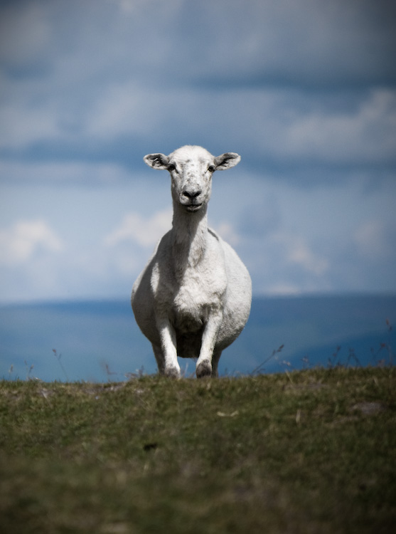 garway sheep_7788