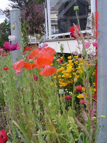poppies by the cottage