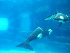 Orcas at Marine World in Niagara Falls (hartjeff12) Tags: ontario niagara orca marineworld