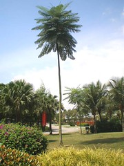 schizolobium parahybum (rhmn) Tags: tree tower palms landscaping palm tropical plans cycad ideas parahyba schizolobium parahybum