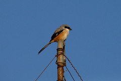 Long-tailed Shrike (sfitzgerald86) Tags: india birds birding 2008 tamilnadu westernghats shrike longtailedshrike