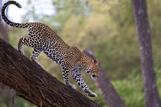 African-Leopard2c-Samburu-National-Reserve2c-Kenya-847038