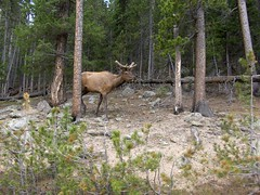 HPIM1257 (jimvickers) Tags: colorado elk rockymountainnationalpark continentaldivide bouldercreekpath summer2008