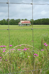 tease (Black.Doll) Tags: florida phlox tinroof crackerhouse levycounty