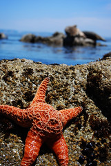 Starfish and Seals (nateyizzle) Tags: fish love beach animal by composition star inspired fabulous depth montery
