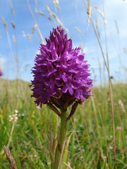 Pyramidal Orchid on the Downs