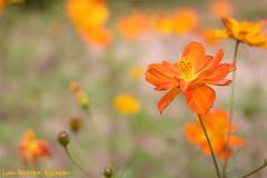 Flores - EXPLORE (Luiz Henrique Assunção) Tags: flowers flores flower canon eos 2008 40d licassuncao