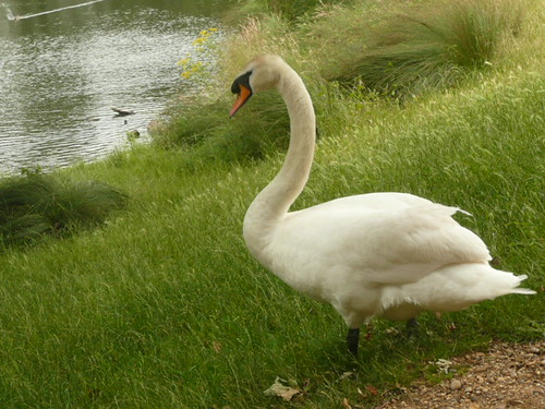 Swan In Richmond Park,  London