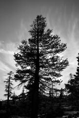 Arbol en contraluz, El Dorado National Forest, California, 2008 (José Antonio Galloso) Tags: california trees paisajes naturaleza blancoynegro nature water agua rocks árboles jag blacknwhite piedras reflexiones eldoradonationalforest blackwhitephotos joseantoniogalloso