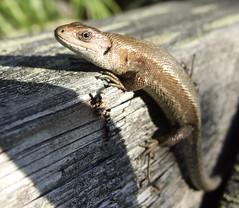 Alert lizard (Lalallallala) Tags: wild animal suomi finland reptile lizard wildanimal viviparouslizard commonlizard sisilisko nilsiä haluna zootocavivipara photodomino713