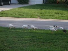 P8030005 (gruntersdad) Tags: birds ibis mylawn