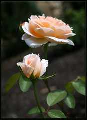Peach Rose (Alicia Lynn) Tags: pink roses plants usa flower nature rose fauna wisconsin outdoors flora purple blossom wildlife cluster peach northamerica blossoming bud 2008 wi oshkosh quantaray flourishing floweret floret digitalcameraclub flowerscolors outdoorsflower cmwdorange wonderfulworldofflowers canonrebelxti alicialynncook northamerica quantaray70300mm1456ld