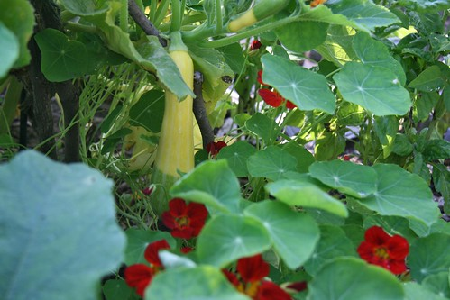 yellow squash and nasturtiums