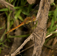 """Common Darter Dragonfly (Sympetrum s(74) • <a style=""""font-size:0.8em;"""" href=""""http://www.flickr.com/photos/57024565@N00/2783774745/"""" target=""""_blank"""">View on Flickr</a>"""