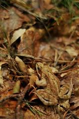 Babidolski Frog (orczyk) Tags: leaves nikon poland 2008 gmt camouflaged d300 aba ranatemporaria nikkor50mm18 pomorskie abka babid orczyk abatrawna