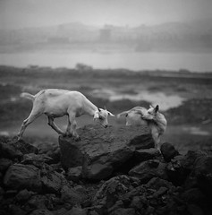 On the shore ( Yanming ) Tags: china animal goat fengdu  kiev60 yanming  kodak100tmx autaut thechangjiangriver   60