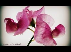 Pink Tuesday (Kirsten M Lentoft) Tags: pink flower garden soe fineartphotos anawesomeshot aplusphoto momse2600 infinestyle macromarvels goodnightsweetfriend mmmuahhh kirstenmlentoft