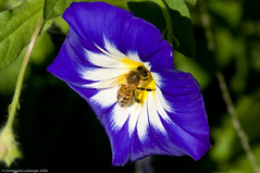 Bee in its Morning Glory