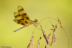 Halloween Pennant by Eric Ripma (Ripma) Tags: dragonfly indiana eaglecreekpark blueribbonwinner halloweenpennant ericripma
