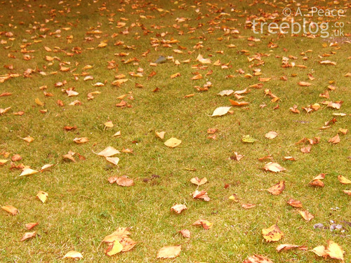 fallen birch leaves litter the lawn