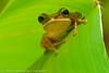 george frog original.jpg (Art 200) Tags: treefrog southchinasea rã 105mmf28dmicro insingapore 2xtelepluspro300 miim goldentorch shootingwithd200 nikonr1ttlringlightflash heliconiapsittacorumxspathocircinatacv foundatmountfaber onheliconialeaf