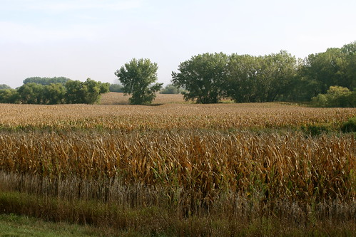 Golden cornfield