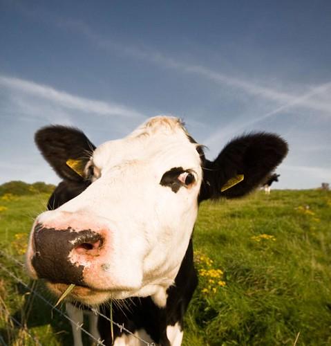 Stupid cow!